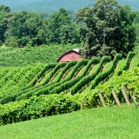 View of grapevines in North Georgia vineyards