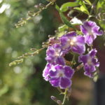 purple flower hanging in garden