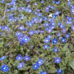 field of blue flowers in garden