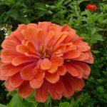 orange flower blooming in garden