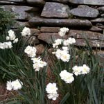 a bunch of white flowers blooming in garden