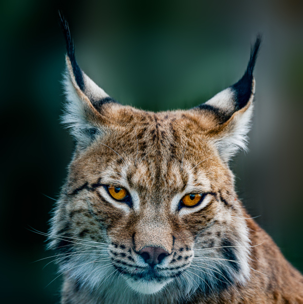 Lynx at the North Georgia Zoo