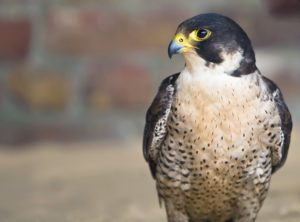Go Bird Watching in Georgia to see a Peregrine Falcon