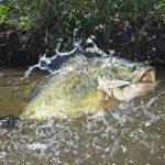 Largemouth Bass with Lure