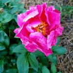 pink flower blooming in garden