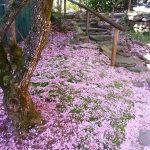 pink flower pedals laying on ground under tree